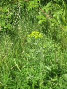 Wild parsnip, Pastinaca sativa